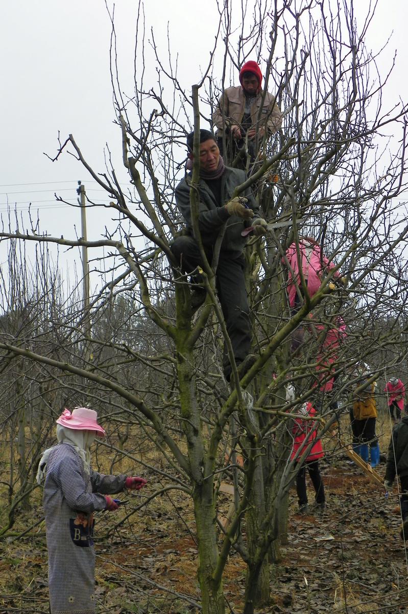 和当地果农近30人接收果树冬季管理和修剪技术培训